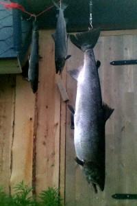 Tämä 16,5 -kiloinen saatiin Helanderin Antin kanssa, ottipeli oli N30 puna-musta oranssiperä 55tissi. Terv Jani Penttinen